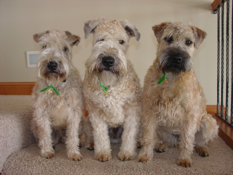 My Three Wheatens (14)