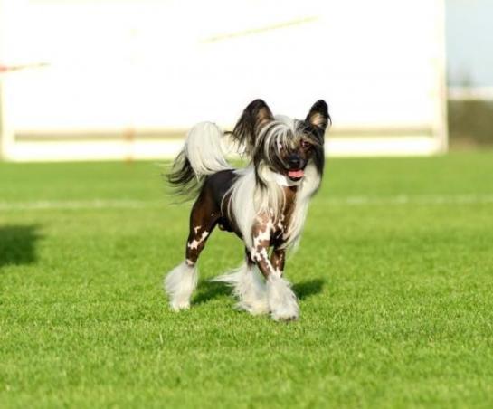 img_5_hairless_dog_breeds_533_paso_0_600
