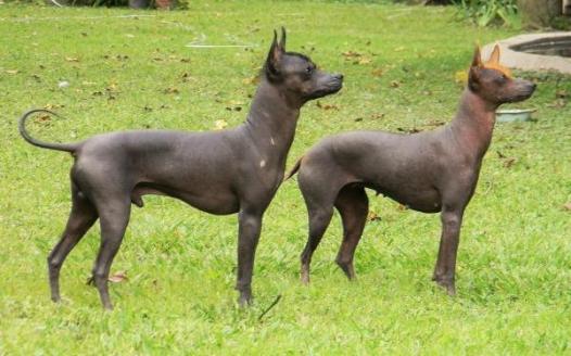 img_5_hairless_dog_breeds_533_paso_3_600