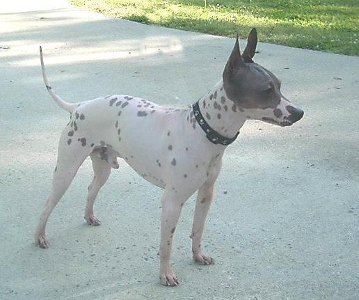 img_5_hairless_dog_breeds_533_paso_4_600